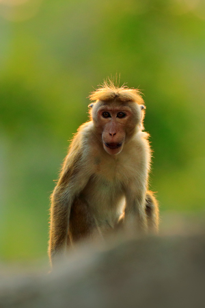 Toque macaque, Macaca sinica, monkey with evening sun. Macaque in nature habitat, Sri Lanka. Detail of monkey, Widlife scene from Asia. Beautiful forest background. Stock Photo