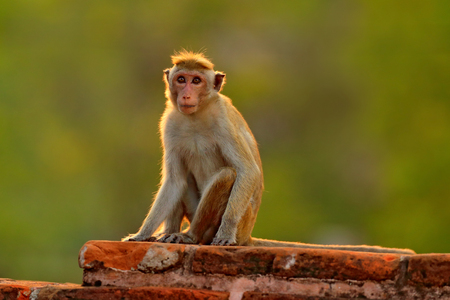 Toque macaque, Macaca sinica, monkey with evening sun. Macaque in nature habitat, Sri Lanka. Detail of monkey, Widlife scene from Asia. Beautiful forest background. Monkey hidden in the grass.