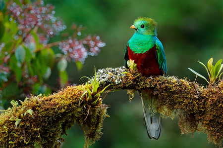 Beautiful bird in nature tropic habitat. Resplendent Quetzal, Pharomachrus mocinno, Savegre in Costa Rica, with green forest background. Magnificent sacred green and red bird. Birdwatching in jungle. 스톡 콘텐츠