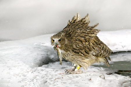 Blakistons fish owl, catch fish in bill, largest living species of owl, fish owl, eagle owl. Bird hunting in cold water. Wildlife scene, winter Hokkaido, Japan. River bird with open wings. Night bird. Stock Photo