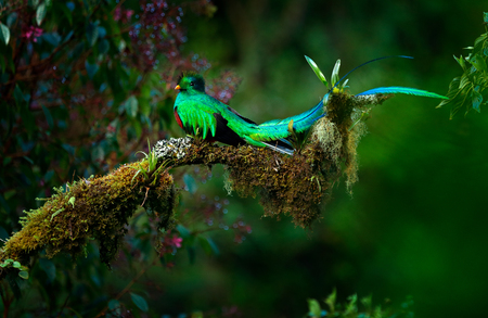 Resplendent Quetzal, Pharomachrus mocinno, magnificent sacred green bird from Savegre in Panama. Rare magic animal in mountain tropic forest. Birdwatching in America.Exotic bird with long tail.  Stock Photo