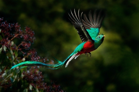 Flying Resplendent Quetzal, Pharomachrus mocinno, Savegre in Costa Rica, with green forest background. Magnificent sacred green and red bird. Action fly moment with Resplendent Quetzal. Birdwatching.
