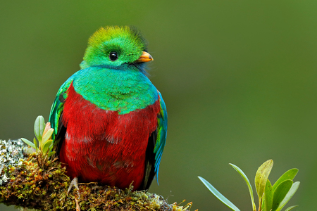 Resplendent Quetzal, Pharomachrus mocinno, from Savegre in Costa Rica with blurred green forest foreground and background. Magnificent sacred green and red bird. Detail portrait of Resplendent Quetzal. Stock Photo