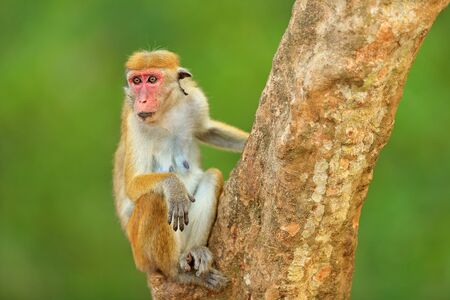 Macaque in nature habitat, Sri Lanka. Detail of monkey, Wildlife scene from Asia. Beautiful colour forest background. Macaque in the forest. Toque macaque, Macaca sinica, monkey with evening sun.  Stock Photo