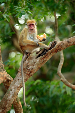 Toque macaque, Macaca sinica. Monkey on the tree, feeding fruits. Macaque in nature habitat, Sri Lanka. Detail of monkey, Wildlife scene from Asia. Beautiful colour forest background. Stock Photo