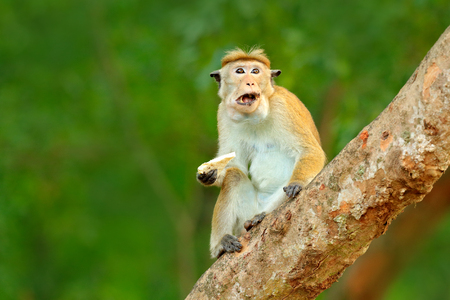 Macaque in nature habitat, Sri Lanka. Detail of monkey, Wildlife scene from Asia. Beautiful colour forest background. Macaque in the forest. Toque macaque, Macaca sinica, monkey feeding sandwich.