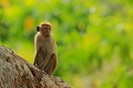 Toque macaque, Macaca sinica, monkey with evening sun. Macaque in nature habitat, Sri Lanka. Detail of monkey, Widlife scene from Asia. Beautiful colour forest background. Macaque in the forest.