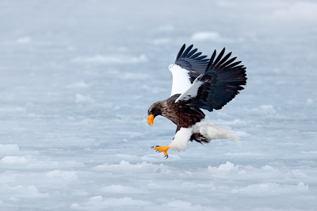 Winter scene with snow and eagle. Flying rare eagle. Steller's sea eagle, Haliaeetus pelagicus, flying bird of prey, with blue sky in background, Sakhalin, Russia. Eagle with nature mountain habitat.