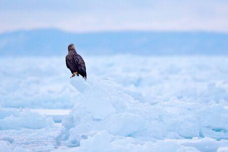 Bird in nature sea habitat, snow with ice. Winter scene with bird of prey. Big bird with snow. Wildlife Japan. White-tailed eagle, Haliaeetus albicilla, Hokkaido, Japan. Action wildlife scene on ice.