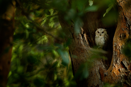 Indian scops owl, Otus bakkamoena, rare bird from Asia. Malaysia beautiful owl in the nature forest habitat. Bird from India. Fish owl sitting on tree in the dark green tropic forest. Night owl image. Stock Photo