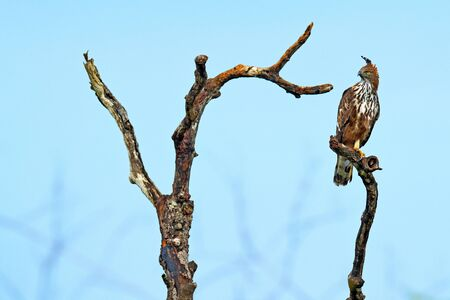 Eagle bir on the tree brach. Changeable hawk-eagle, Nisaetus cirrhatus, close up, bird of prey perched on branch in Wilpattu national park, Sri Lanka. Wildlife. Bird in the habitat, blue sky. Stock Photo