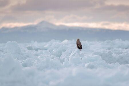Winter scene with bird of prey. Big bird with snow. White-tailed eagle, Haliaeetus albicilla, Hokkaido, Japan. Action wildlife scene with ice. Eagle in fly. Bird in nature sea habitat, snow with ice. Stock Photo