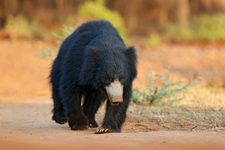 Sloth bear, Melursus ursinus, Ranthambore National Park, India. Wild Sloth bear nature habitat, wildlife photo. Dangerous black animal in India. Wildlife Asia. bute Animal on the road Asia forest.
