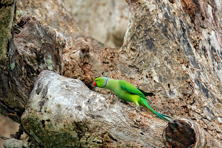 Green bird sitting on tree trunk with nest hole. Nesting Rose-ringed Parakeet, Psittacula krameri, beautiful parrot in the nature green forest habitat, India, Asia. Parrot in in green forest.  Stock Photo