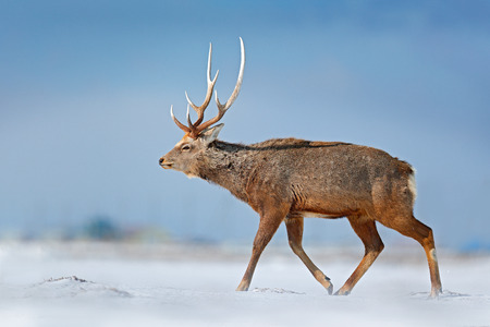 Animal with antler in the nature habitat, winter scene, Hokkaido, wildlife nature, Japan. Hokkaido sika deer, Cervus nippon yesoensis, in the snow meadow, winter mountains and forest in the background.