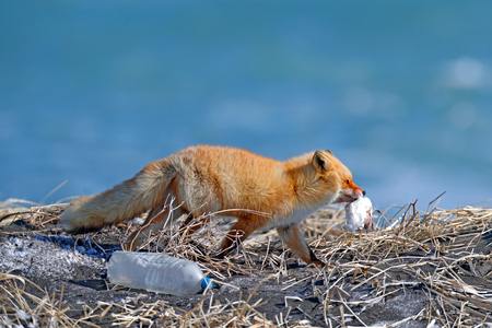 Rode vos, met vangstvogel en afval plastic fles. Wildlife scène uit de natuur. Stockfoto - 92913113