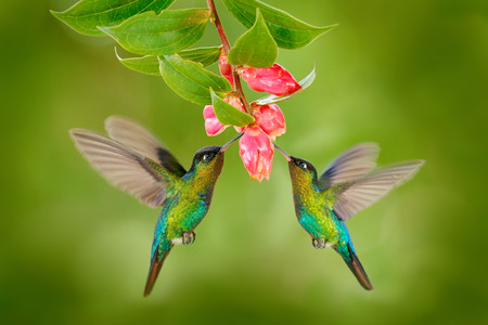 Two hummingbird bird with pink flower. hummingbirds Fiery-throated Hummingbird, flying next to beautiful bloom flower, Savegre, Costa Rica. Action wildlife scene from nature. Bird flying. Animal love. Stockfoto