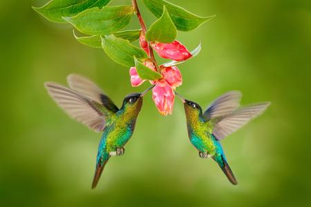 Vogel mit zwei Kolibris mit rosa Blume. Kolibris Feurig-throated Kolibri, fliegend nahe bei schöner Blütenblume, Savegre, Costa Rica. Action-Wildlife-Szene aus der Natur. Vogel fliegen. Tierliebe.