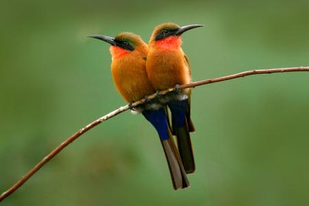 Red-throated bijeneter, Merops bulocki, Benin, Kameroen, Congo, Ethiopië, Gambia, Ghana. Detail van paar exotische oranje en rode Afrikaanse vogel met bij aardhabitat. Wildlife scene vorm aard. Twee vogels. Stockfoto