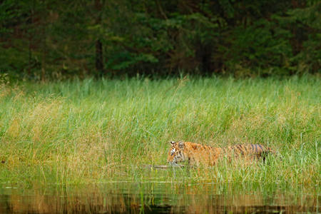 Amur tiger walking in river water grass. Danger animal, taiga, Russia. Animal green forest stream. Siberian tiger splash water. Tiger wildlife scene, wild cat, nature habitat. Green lake hidden tiger.