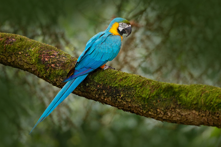Blue-and-yellow macaw, Ara ararauna, large South American parrot with blue top parts and yellow under parts. Beautiful bird, in the nature habitat. Wildlife Brazil. Wild blue parrot in the forest. Stock Photo