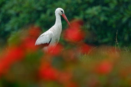 White stork, Ciconia ciconia, on the lake in spring. Stork in red bloom flower. White stork in the nature habitat. Wildlife scene from the nature. Beautiful morning sun with bird in the river. Czech.
