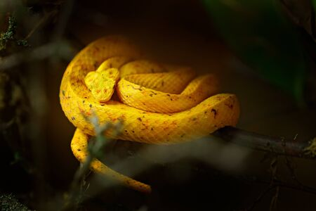 Eyelash Palm Pit Viper. Poison snake from Costa Rica. Yellow Eyelash Palm Pitviper, Bothriechis schlegeli, on green moss branch, nature habitat, Panama. Hidden animal in tropic forest. Wildlife. Stock Photo