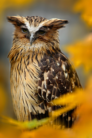 Sunda fishing owl, Ketupa ketupu javanensis, rare bird from Asia. Malaysia beautiful owl in nature orange autumn forest habitat. Bird from Malaysia. Fish owl sitting on branch in green tropic forest.  Stock Photo