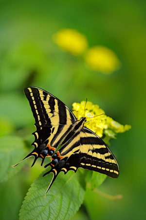 Butterfly sitting on the green leave. Butterfly Papilio pilumnus, in the nature green forest habitat, South of USA, Arizona. Nice insect beautiful black and yellow butterfly, in green vegetation.