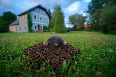 Mole in garden with house in background. Mole, Talpa europaea, crawling out of brown molehill, green grass. Mouse in soil. Mole in the grass with brown soil. Mole in the nest hole, wide angle lens.
