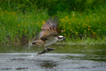 Osprey catching fish. Flying osprey with fish. Action scene with osprey in the nature water habitat. Hunter with fish in fly. Bird of prey with fish in the talon. Animal osprey hunting in the water.