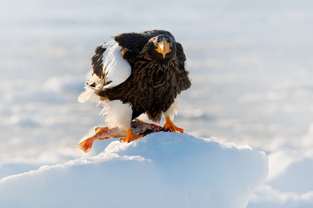 Winter Japan with snow. Beautiful Stellers sea eagle, Haliaeetus pelagicus, bird with catch fish, with white snow, Hokkaido, Japan. Wildlife action behaviour scene from nature. Eagle on ice. Stock Photo