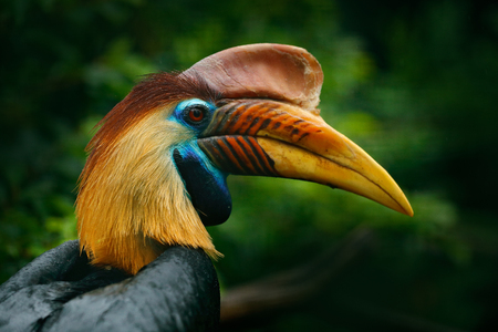 Knobbed Hornbill, Rhyticeros cassidix, from Sulawesi, Indonesia. Rare exotic bird detail eye portrait. Big red eye. Beautiful jungle hornbill, wildlife scene from nature. Orange and blue bird head.  版權商用圖片