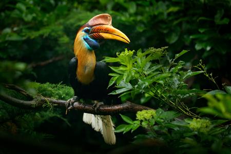 Knobbed neushoornvogel, Rhyticeros cassidix, uit Sulawesi, Indonesië. Zeldzaam exotisch vogeloogportret. Groot rood oog. Mooie jungle neushoornvogel, dieren in het wild scène uit de natuur van Azië. Reizen in Indonesië. Stockfoto - 93090556