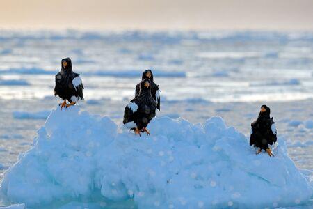 Eagle floating in sea on ice. Beautiful Stellers sea eagle, Haliaeetus pelagicus, flying bird of prey, with sea water, Hokkaido, Japan. Wildlife action behaviour scene, nature. Morning sun, sunrise. Stock Photo