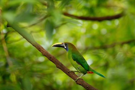 Blue-throated Toucanet, Aulacorhynchus caeruleogularis, green toucan bird in the nature habitat. Exotic animal in tropical forest, green mountain vegetation, Costa Rica. Toucan hidden in the tree.