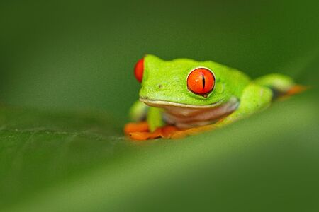 Red-eyed Tree Frog, Agalychnis callidryas, animal with big red eyes, in the nature habitat, Costa Rica. Frog in the nature. Beautiful frog in forest, exotic animal from central America. Wildlife.