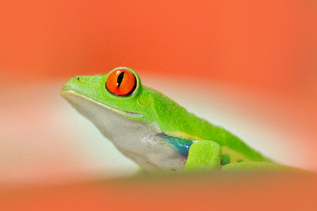 Frog in red flower. Red-eyed Tree Frog, Agalychnis callidryas, animal with big red eyes, in habitat, Costa Rica. Frog in nature. Beautiful frog in forest, exotic animal from central America. Stock Photo