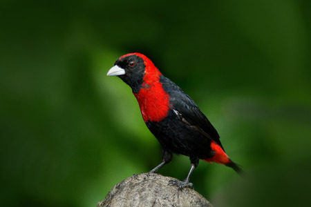 Crimson-collared Tanager, Ramphocelus sanguinolentus, exotic tropic red and black song bird form Costa Rica, in the green forest nature habitat. Beautiful tropic bird from South America.