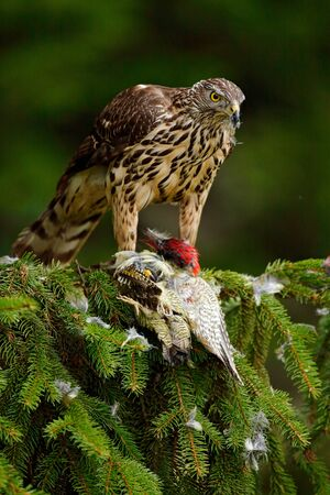 Wildlife scene from nature. Bird of prey Goshawk kill green woodpecker on the green spruce tree. Feeding scene with bird and catch. Goshawk on the tree. Hawk from Slovakia.
