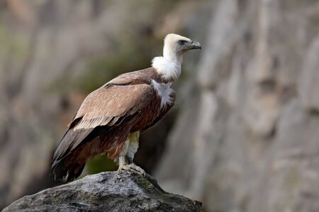 Wildlife animal scene from nature. Vulture in the rock. Vulture in the rocky habitat. Bird Eurasian Griffon Vulture, Gyps fulvus, sitting on the stone, rock mountain, Spain. Stock Photo