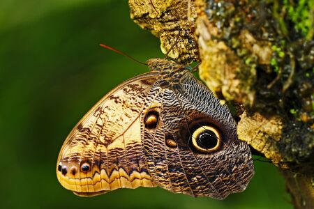 Butterfly in the green forest. Beautiful butterfly Blue Morpho, Morpho peleides, in habitat, with dark forest, green vegetation, Costa Rica. Sitting on the three. Stock Photo