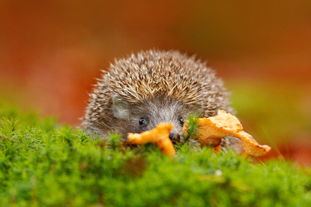 Cute European Hedgehog, Erinaceus europaeus, eating orange mushroom in the green moss. Funny image from nature. Wildlife forest wint European Hedgehog. Nature in Czech Rep. Autumn colours with animal. Stock Photo