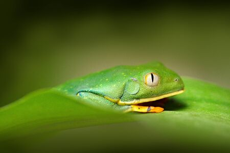 Golden-eyed leaf frog, Cruziohyla calcarifer, Green frog on the leave, Costa Rica. Wildlife scene from tropic jungle. Forest amphibian in nature habitat. Frog sitting on the green leave, South America. Stock Photo