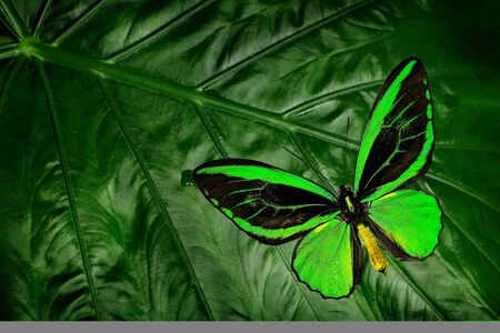 Beautiful green and black butterfly. Ornithoptera euphorion, the Cairns birdwing, sitting on green leaves, north-eastern Australia. Tropic insect in the nature habitat. Wildlife scene form jungle.