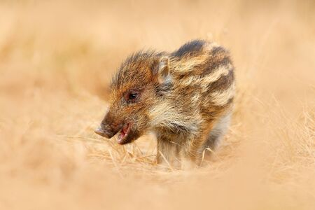 Young Wild boar, Sus scrofa, running in the grass meadow, red autumn forest in background, animal in the grass habitat, France, wildlife. Portrait of wild pig, grass meadow.