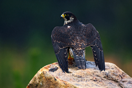Peregrine Falcon, bird of prey sitting on the stone in the rock, detail portrait in the nature habitat, Germany. Wildlife scene with bird from Europe. Wings of peregrine falcon. Rainy day with falcon.