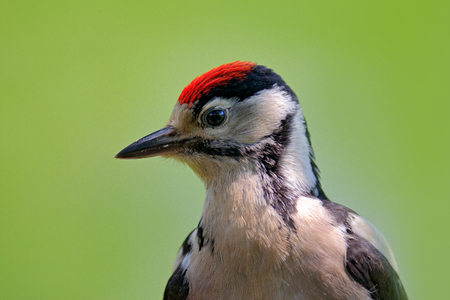 Face portrait of red cap bird. Great Spotted Woodpecker, detail close-up portrait of bird head, black and white animal, Czech Republic. Detail portrait of bird with clear green background.