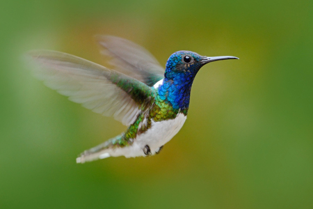 Flying hummingbird. Action scene from nature, hummingbird in fly. Hummingbird in the forest. Flying blue and white hummingbird White-necked Jacobin. Hummingbird from Ecuador, clear background.