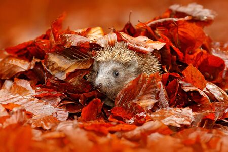Autumn orange leaves with hedgehog. European Hedgehog, Erinaceus europaeus, on a green moss at the forest, photo with wide angle. Hedgehog in dark wood, autumn image.Cute funny animal with snipes.
